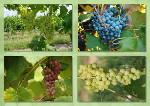 Reliance and Neptune grapes from Doube A Vineyards