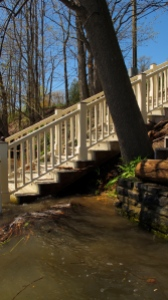 Ash tree undermined by Lake Champlain flood